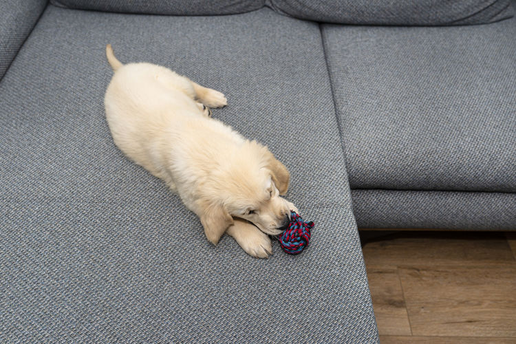 High angle view of puppy sleeping on sofa