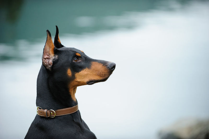 Doberman Pinscher dog Day Doberman  Doberman Pinscher Dog Guard Dog No People Outdoors