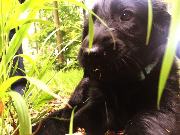 Quinn - Flat Coated Retriever Puppy