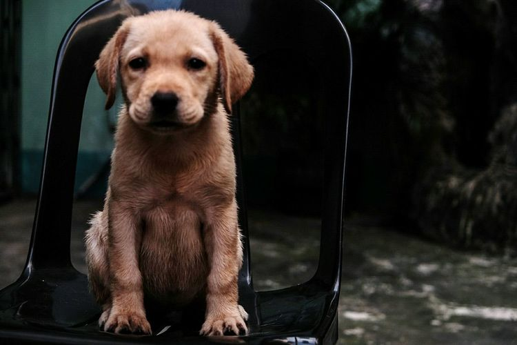 Dog Looking At Camera Portrait One Animal Pets Animal Animal Themes Mammal Domestic Animals Front View Puppy Loyalty No People Close-up Indoors  Day Doglover Dogstagram Animal Body Part LabradorLove Labrador Dogs Of EyeEm Dog❤