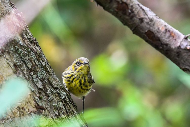 Cape May Warbler Awesome_nature_shots Bird Photography Natures Beauty Birds Life Amazing Nature Warbler Colorful Natures Best Nikonphotography Perching Tree Branch Close-up Bird Of Prey