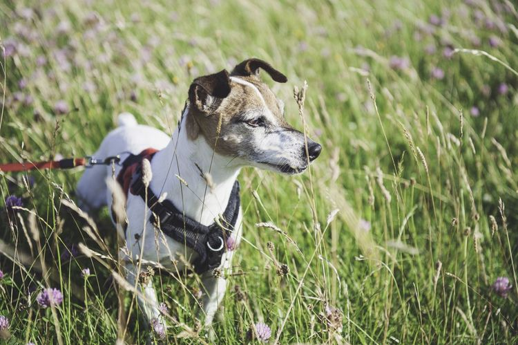 Jack Russell terrier 🐶❤️ Jack Russell Jrt Dog Countryside Country Life Showcase April Hello World Check This Out Dogs DogLove Animal Themes Animals Animal Photography Animal Theme England Countrylife Crops Nature_collection Nature Photography