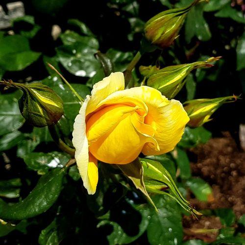 A yellow hybrid