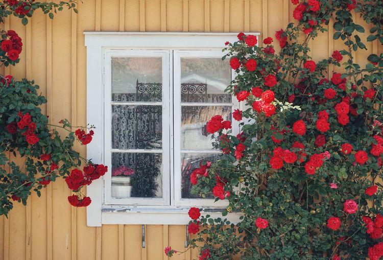 2019 Niklas Storm Juni Flower Flower Head Residential Building House Window Red Architecture Building Exterior Rose - Flower Blooming My Best Photo The Architect - 2019 EyeEm Awards