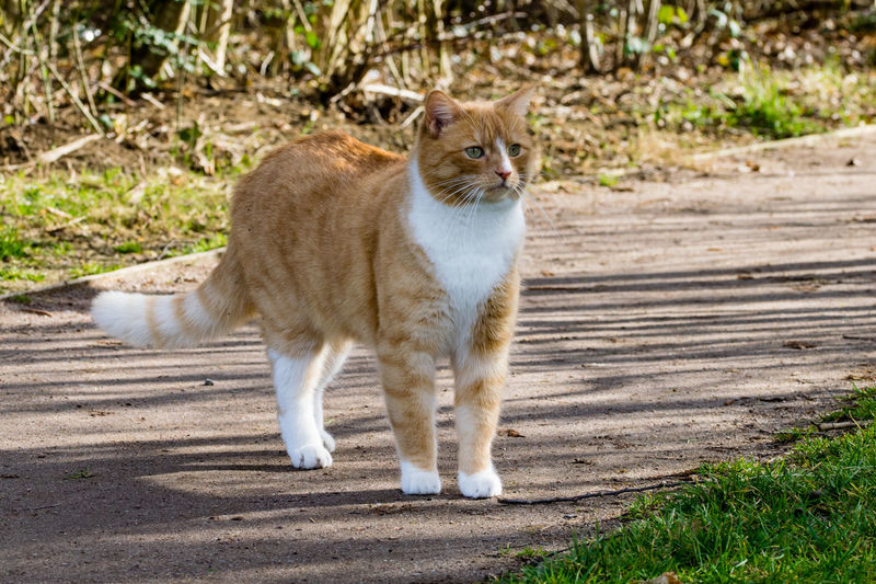 Domestic ginger cat defensive walking in sunshine with a puffed up tail Animal Themes Cat Puff Tail Day Domestic Animals Domestic Cat Feline Ginger Cat Looking At Camera Mammal No People One Animal Outdoors Pets Portrait Puff Tail