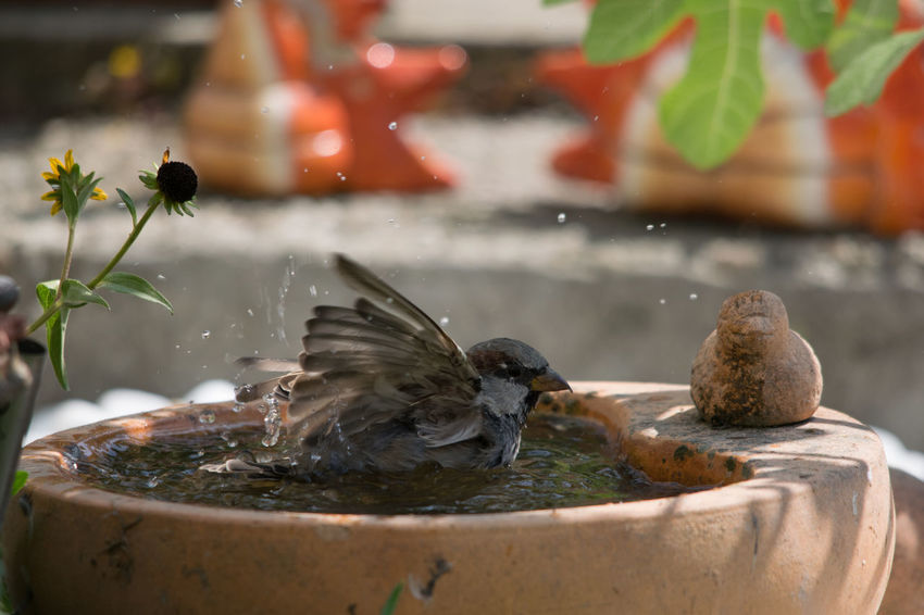 Vogeltränke- Badener Sperling Sperling Heißer Tag Flügel Schlagend Vogel Badend Wasser Spritzendes Wasser Vogeltränke Plumage Hot Day Sitting Birdbath Spraying Water Bathing Bird EyeEm Selects Water Close-up Animal Themes