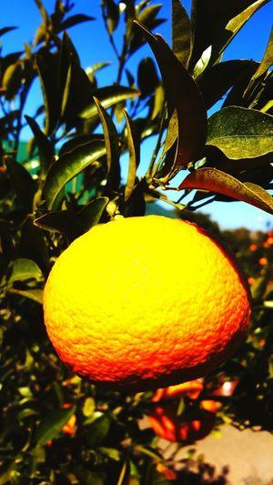 jeju do Orange