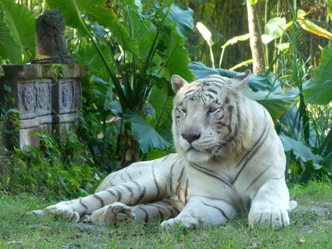 White Whitetiger Tiger Tigers Tiger Love
