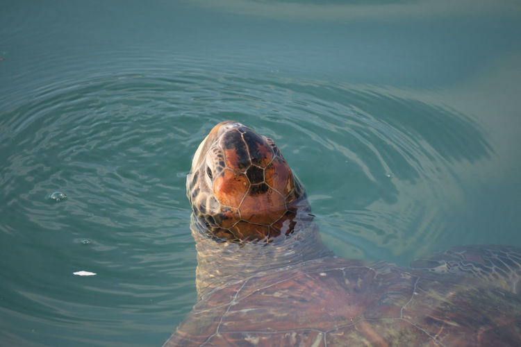 Close-up of tortoise in sea