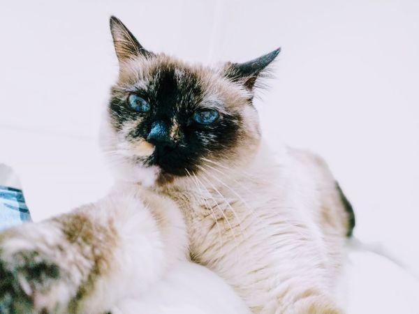 Felinesunday Lanena BlueEyes Domestic Cat
