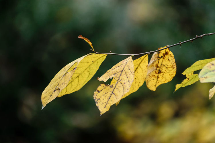 Close-Up Of Yellow Autumn Leaf