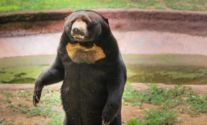 Sunbear Bears