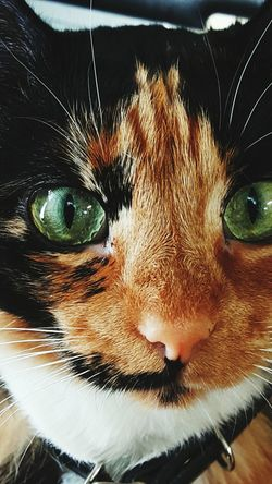 Sunbathing Cat Greeneyes Cats Catslife Green Color Closeup Pets Calico Cat Cats Of EyeEm Calico Cute Pets Cat Lovers Catface