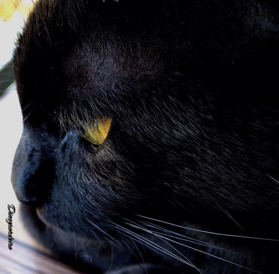 Thomas nosso gato de estimação Domestic Animals