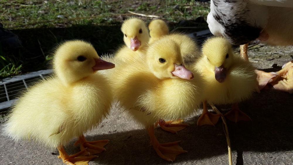 Duckies Duck Duck Baby