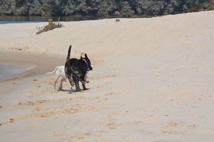 EyeEm Selects Two Dogs Playing on the Riverside Of The River Outside Pets Beach Outdoors Sand Day Animal