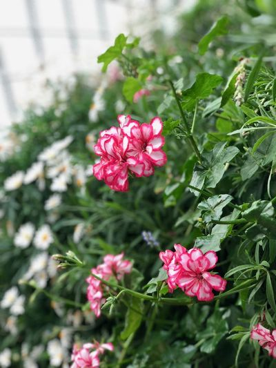 Flowering Plant Flower Plant Vulnerability  Fragility Freshness Growth Petal Beauty In Nature Pink Color Close-up Inflorescence Flower Head Nature Day Plant Part Leaf No People Focus On Foreground