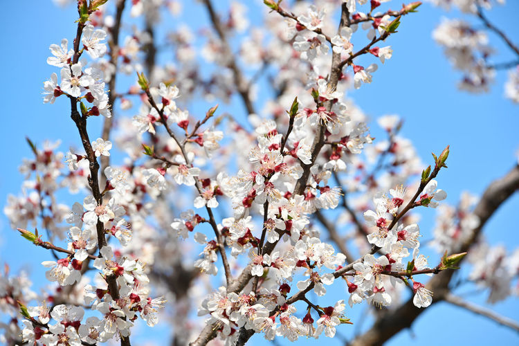 Branches of apricot tree blossom over clear blue sky Springtime Flower Blossom Flowering Plant Fragility Growth Tree Branch Vulnerability  Plant Freshness Low Angle View Cherry Blossom Spring Plum Blossom Pollen Outdoors Focus On Foreground Cherry Tree Close-up Fruit Tree No People Nature Day Beauty In Nature Apricot Tree Apricot Flowers Apricot Blossom ApricotBlossom Season