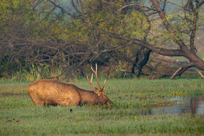 Sambar deer or