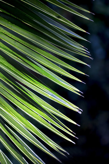 Close up photo of green palm tree leaf on dark background, sunlight effect Growth Plant Beauty In Nature Leaf Green Color Nature Focus On Foreground No People Plant Part Day Close-up Tree Palm Tree Outdoors Natural Pattern Palm Leaf Pattern Palm Leaf Dark Background Backgrounds Nature_collection Freshness Tropical Climate Sunlight Spiky Coniferous Tree My Best Photo My Best Photo