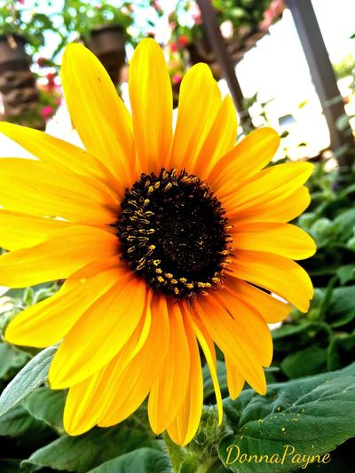 Flower Yellow Flower Head Flowering Plant Inflorescence Plant Growth Petal Beauty In Nature Outdoors Pollen Sunlight Close-up