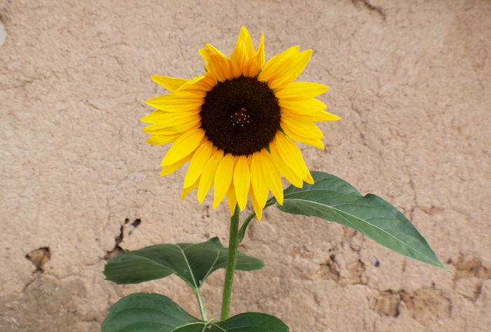 Bright sunflower growing in front of rustic old cracked adobe wall Desert Mexico New Mexico, USA Rustic Sunflower Yellow Flower Aobe Beauty In Nature Bloom Close-up Flower Flower Head Garden Grunge Landscape Leaf One Person Petal Plant Southwest  Stucco Wall Sunflowers Taos Vibrant Yellow
