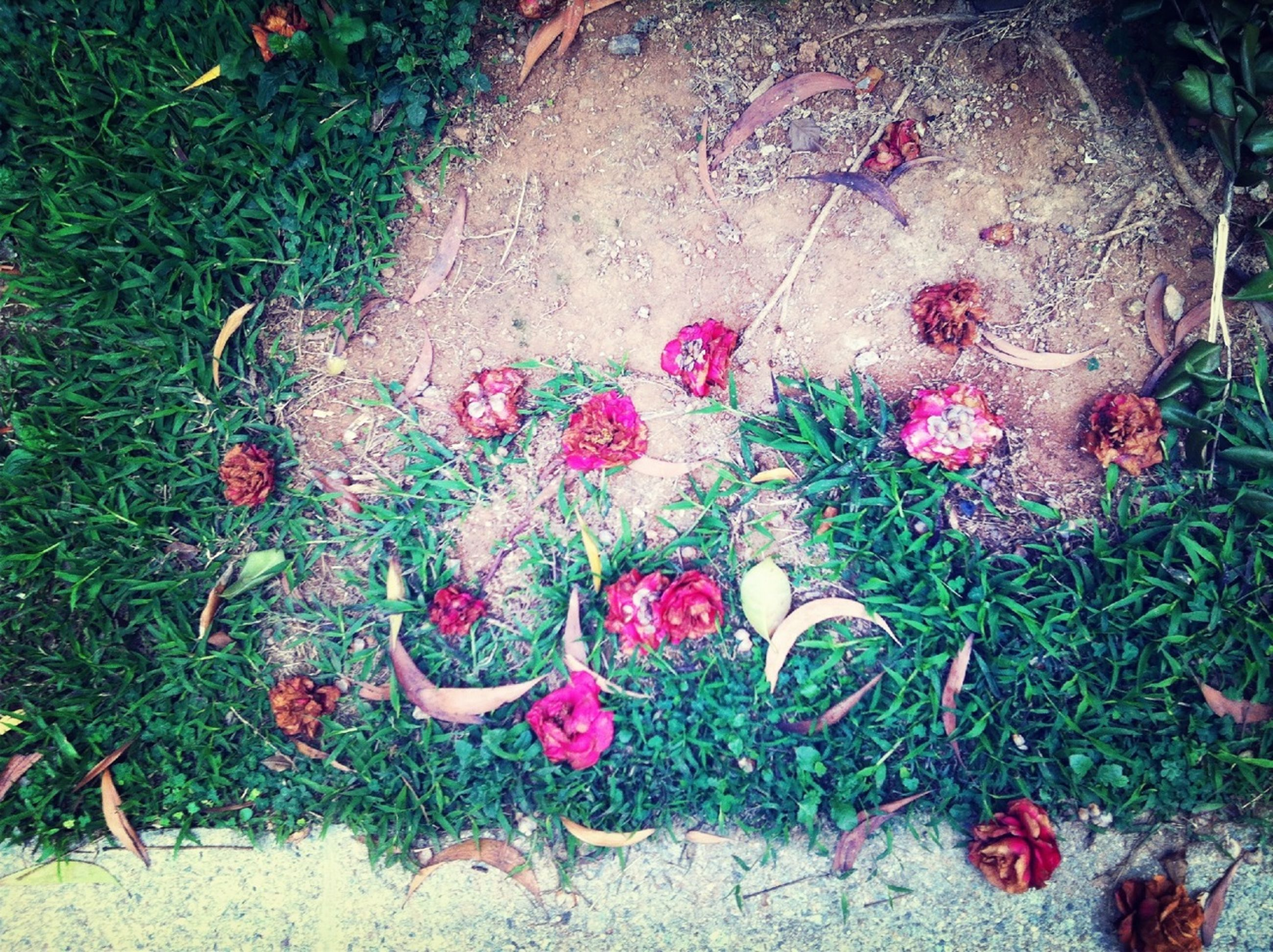 high angle view, flower, plant, growth, pink color, nature, petal, ground, fragility, leaf, field, grass, day, outdoors, sunlight, no people, beauty in nature, fallen, park - man made space, red