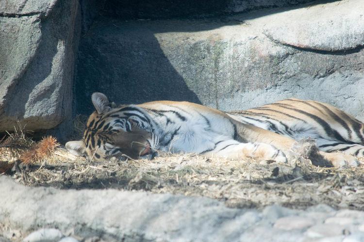 Zebras relaxing in zoo