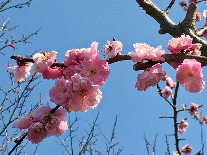 Ume Blossom Flowers March 2016 Ogose Bairin