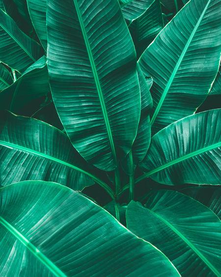 Closeup nature view of tropical banana leaf background, dark green wallpaper concept.