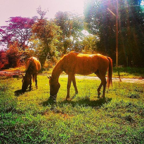 Palampur Farm Cskhpkv Sunny Horse Spotlight Sunrays Summer2014 Lonelyplanetindia LoveNature Mothernature Skyporn Bluesky Afternoon Click XPERIA Bestescapes