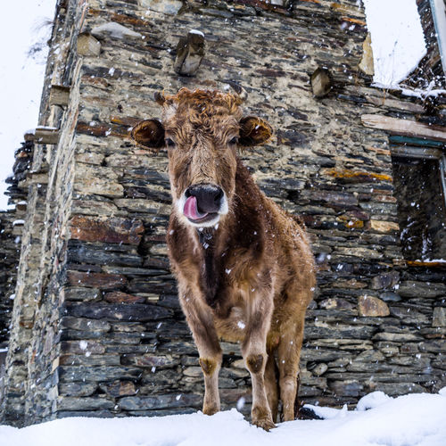 Ushguli Village in a Snowstorm, the cows in the streets are still calm and posing for pictures. Tongue Out Ushguli Village Animal Bovine Bovine Beauty Cold Temperature Cow Herbivorous Licking Livestock Looking At Camera Mammal Nature No People One Animal Outdoors Portrait Snow Snowing Standing Tongue Tongueouttuesday Ushguli Winter EyeEmNewHere