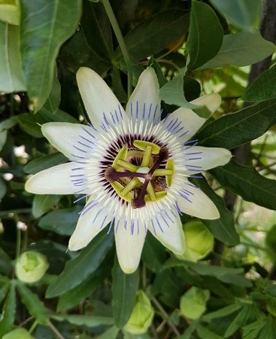 Flower Fragility Flower Head Freshness Beauty In Nature Nature Petal Pollen Growth Plant Passion Flower Blooming Close-up Outdoors No People Day Flowers, Nature And Beauty Flower Photography Flowers,Plants & Garden White Flower Green Leaves Inbloom Blooming Flower Garden Flowers Climbing Plant