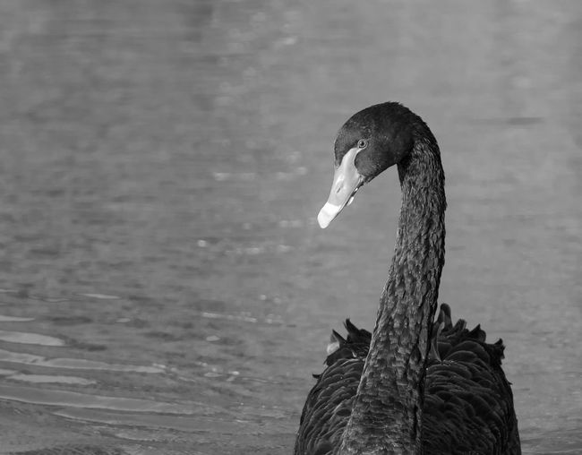 Close-Up Of Black Swan In Lake