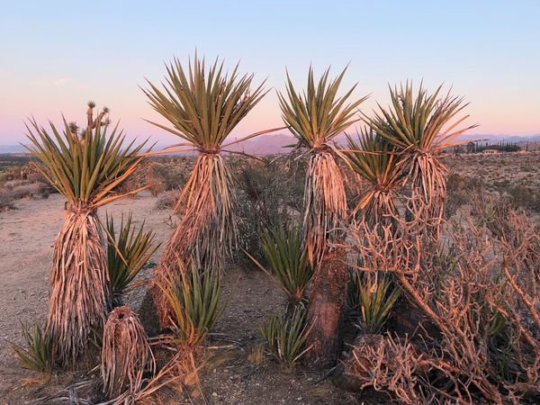 Joshua Tree, CA Sunset Plant Sky Growth Beauty In Nature Scenics - Nature Cactus