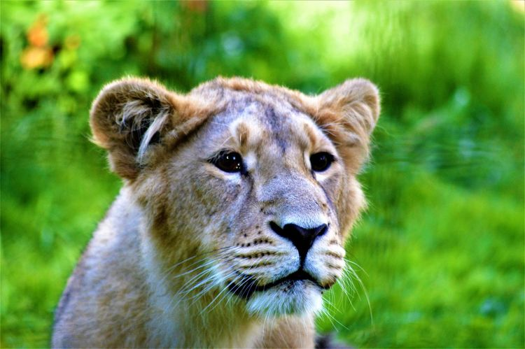 Love Sadness And Sorrow Animal Head  Animal Themes Animals In The Wild Close-up Eyes Are The Windows To The Soul Lion - Feline No People Outdoors
