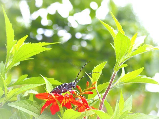 ギラギラ太陽☀️夏を楽しむ虫たち…かみきり虫 Insect Photography Insect Collection Insect On A Flower Insects Beautiful Nature EyeEm Nature Lover EyeEm Best Shots EyeEm Gallery Eyemphotography Taking Photos 日だまり Green Nature EyeEm Best Shots - Nature
