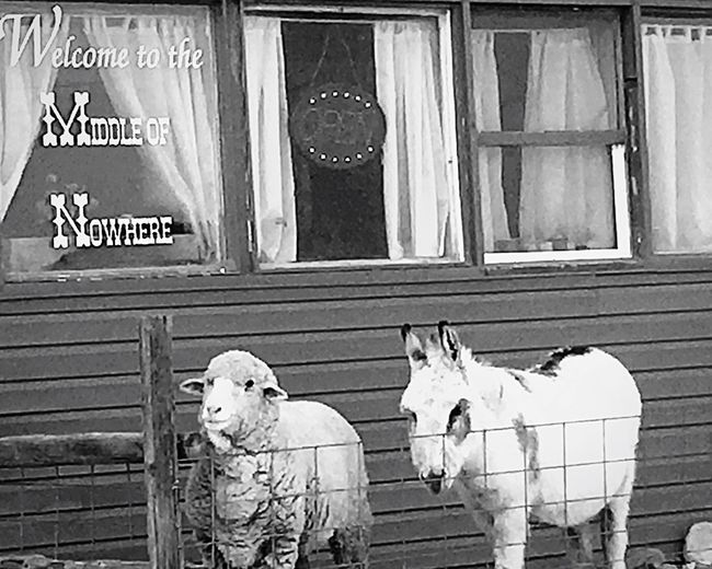 Animals animal sheep store outside pets Outdoors Animal Themes Mammal Animals Closed Middleofnowhere Barn Barn Animals Road Trip Vacation, Middle Of Nowhere Funniest Picture Outdoor Photography Daytime No People Blackandwhite Beautiful Oddities Day Store Window Stores Day Off