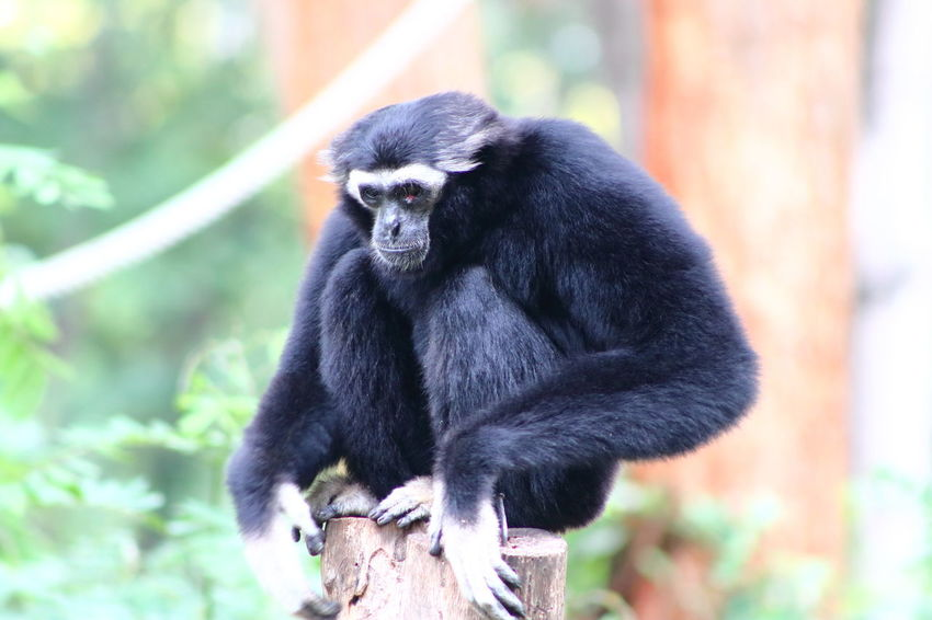 Animal Wildlife Animals In The Wild Ape Black Color Day Focus On Foreground Gibbon Looking Mammal Nature No People One Animal Outdoors Pitiable Primate Sadness Sick Sitting Tree Vertebrate Zoo