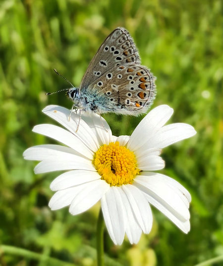 Common Blue Butterfly Animal Animal Themes Animal Wildlife Animal Wing Animals In The Wild Beauty In Nature Butterfly Butterfly - Insect Flower Flower Head Flowering Plant Fragility Freshness Growth Inflorescence Insect Invertebrate No People One Animal Petal Plant Pollen Pollination Vulnerability