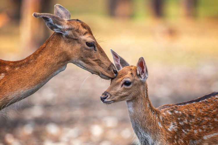 Animal Animal Family Animal Head  Animal Themes Animal Wildlife Animals In The Wild Brown Cute Day Deer Domestic Animals Fawn Focus On Foreground Group Of Animals Herbivorous Mammal No People Profile View Side View Togetherness Two Animals Vertebrate Young Animal
