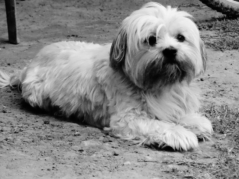 Animal Themes Pets Mammal Dog Domestic Animals One Animal No People Close-up Day Outdoors Shih Tzu
