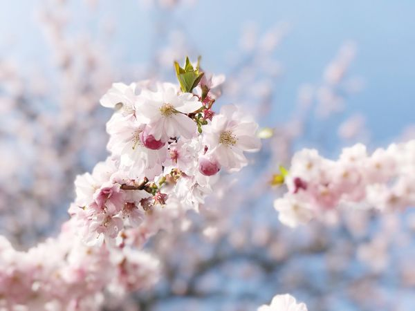 Flower Nature Tree Growth Fragility Twig Beauty In Nature Blossom Freshness Petal Close-up Apple Blossom Springtime No People Branch Fruit Tree Outdoors Plum Blossom Flower Head Day Cherry Tree Cherry Blossom Focus On Foreground Sky In Bloom