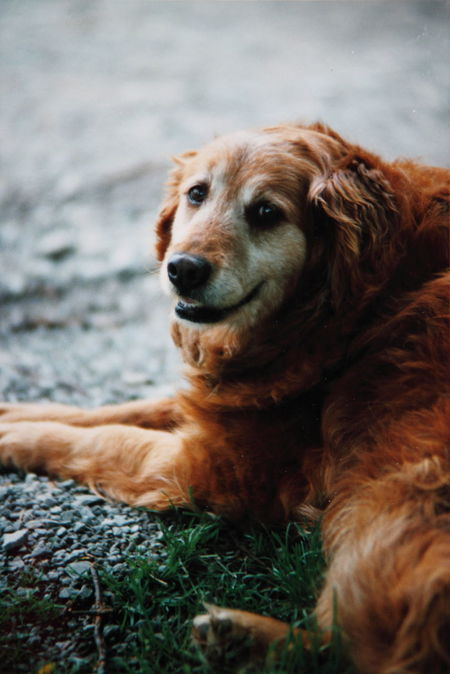 Animal Hair Animal Head  Animal Themes Brown Dog Domestic Animals Film Film Photography Happy Looking At Camera Lying Down No People Old Dog One Animal Pets Portrait Relaxation Resting Smiling Thomas E. McCutcheon