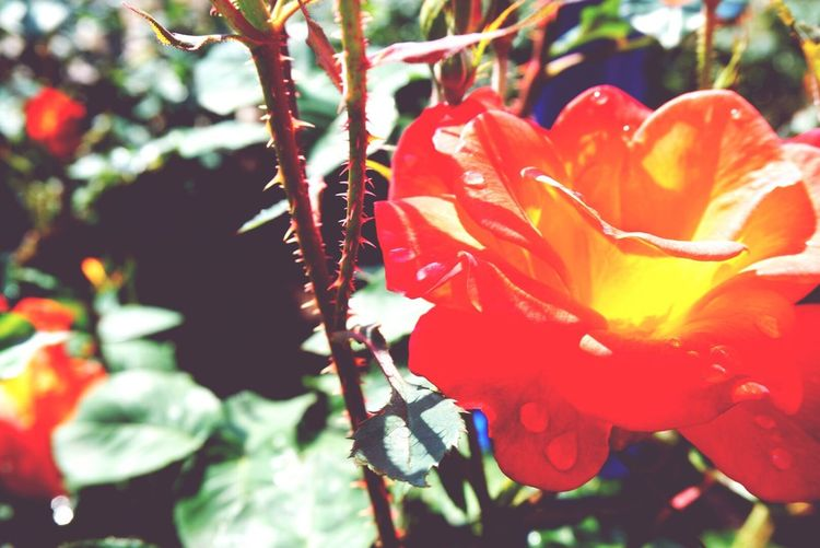 Rain drops on the petal. Flowers Raindrops San Diego California Balboa Park