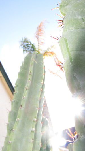 Beauty In Nature Cactus Close-up Day Freshness Green Color Growth Low Angle View Nature No People Outdoors Plant Sky Sunlight