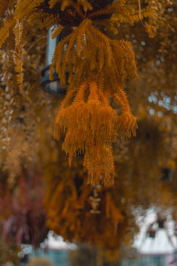 Close-up of autumn leaves hanging from tree