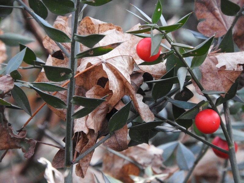 Berries Berry Destruction Details Dry Leaves Focus On Foreground Fragility Holly Leaf Leaf 🍂 Leaves No Filter No Filter, No Edit, Just Photography No People Red Berries Red Berry Selective Focus Trapped Leaf