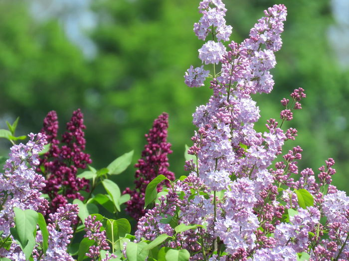 Lilac, with blurred green background Syringa Common Lilac Flower Head Flower Summer Leaf Purple Rural Scene Defocused Close-up Plant Lilac Flowering Plant Wildflower In Bloom