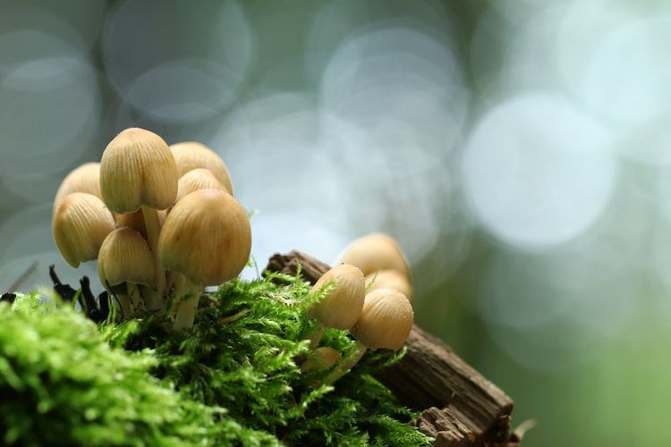 Canon Wood Backgrounds Mushroom Mushrooms Fungus Moss Bokeh Nature Nature_collection Nature Photography Naturelovers Macro Macro Photography Macro_collection Macro Beauty Light Green Color Tree Tree Trunk Forest Forest Photography Autumn EyeEm Selects Nature Healthy Eating Freshness Sunlight Green Color Outdoors No People Beauty In Nature